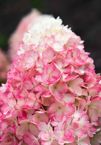 Hydrangea paniculata Living Raspberry Pink®