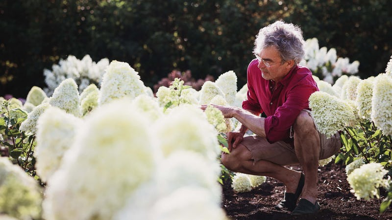 Fred Booy checking new Living Creations® Hydrangeas varieties