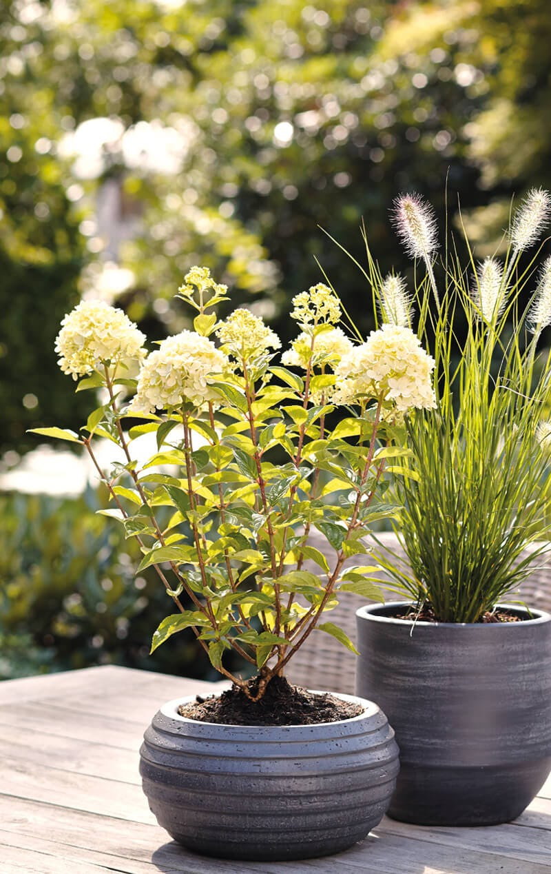 Hydrangea Living Little Passion® in pot