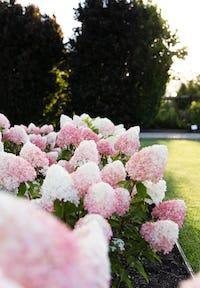 Hydrangea paniculata Living Pink & Rose