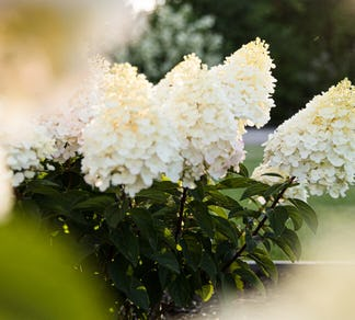 Hydrangea paniculata Living Little Blossom® (Living Creations)
