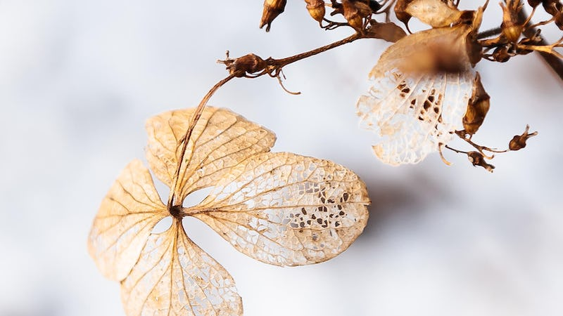 A winter-hardy Living Creations® Hydrangea