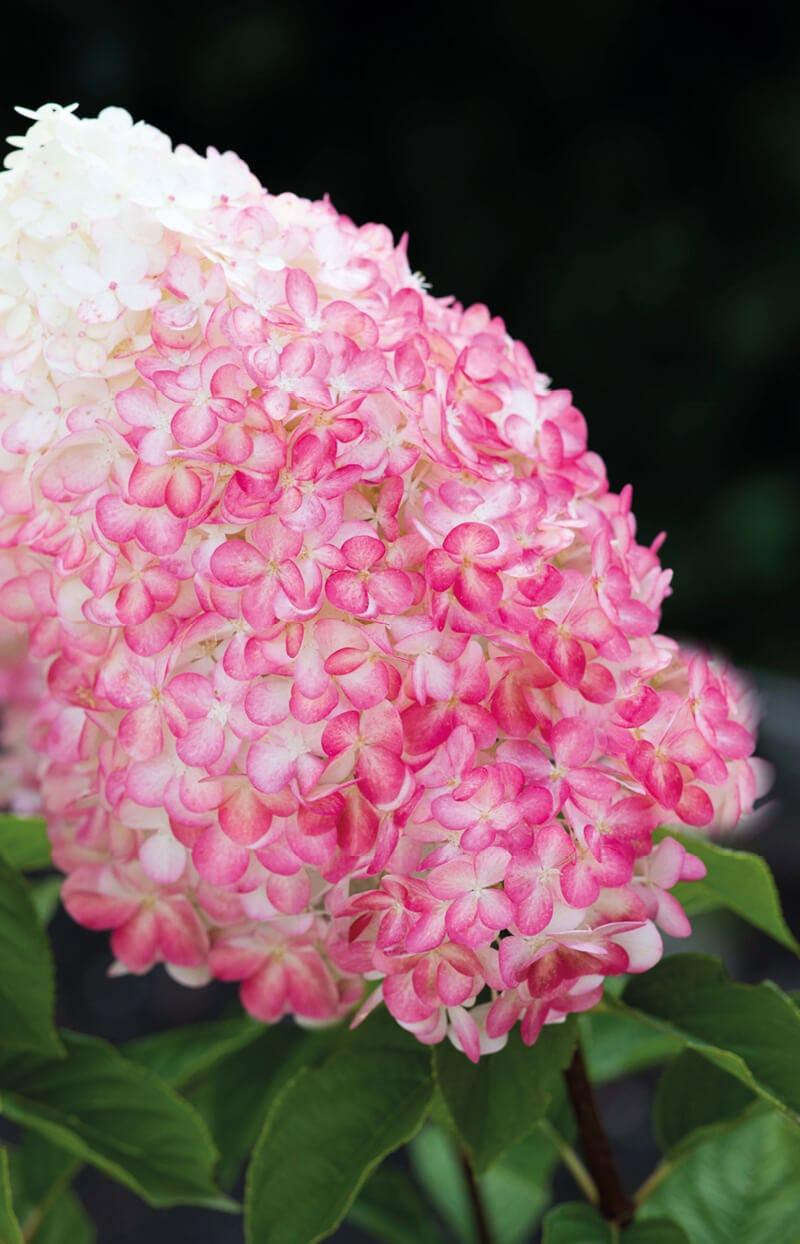 Hydrangea Living Pink & Rose®