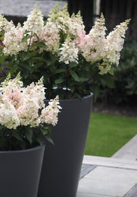 Hydrangea paniculata Living Candlelight®
