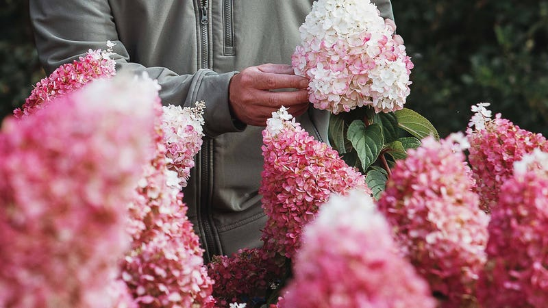 Hydrangea Living Pinky Promise®