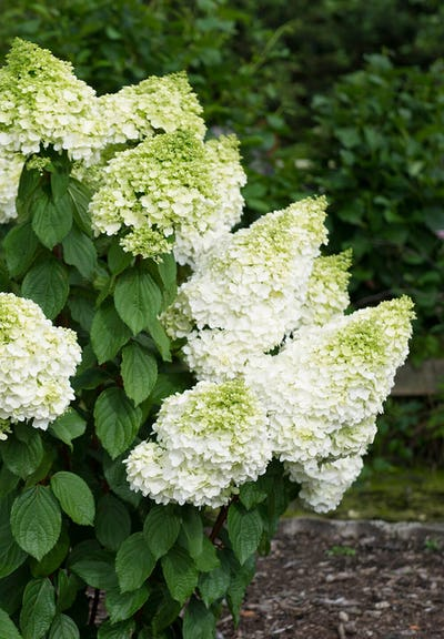 Hydrangea paniculata Living Magical Moonlight®