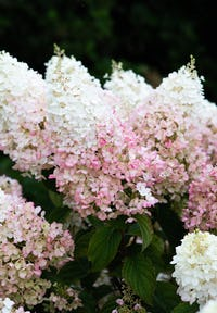 Hydrangea paniculata Living Stawberry Blossom