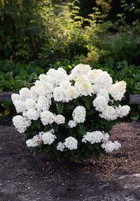 Hydrangea paniculata Living Little Blossom