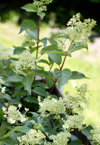 Hydrangea paniculata Living Brussels Lace®