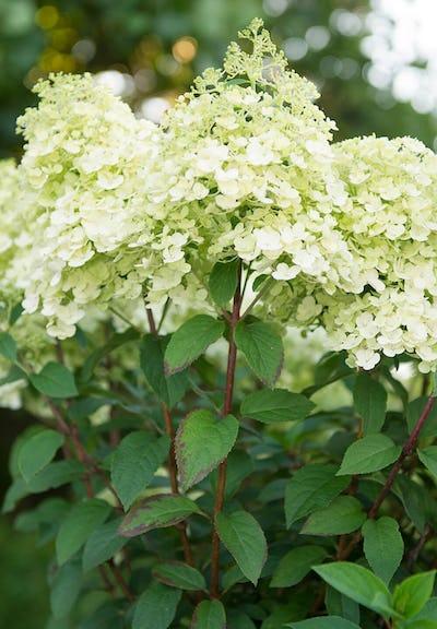 Hydrangea paniculata Living Bobo®