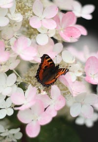 Hydrangea paniculata Living Magical Fire®