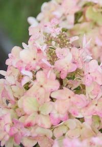 Hydrangea paniculata Living Wim's Red®