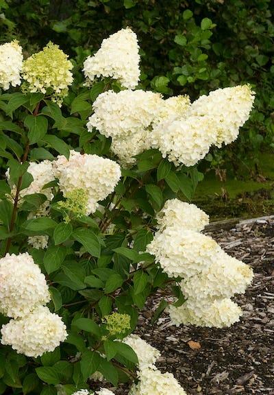 Hydrangea paniculata Living Silver Dollar®