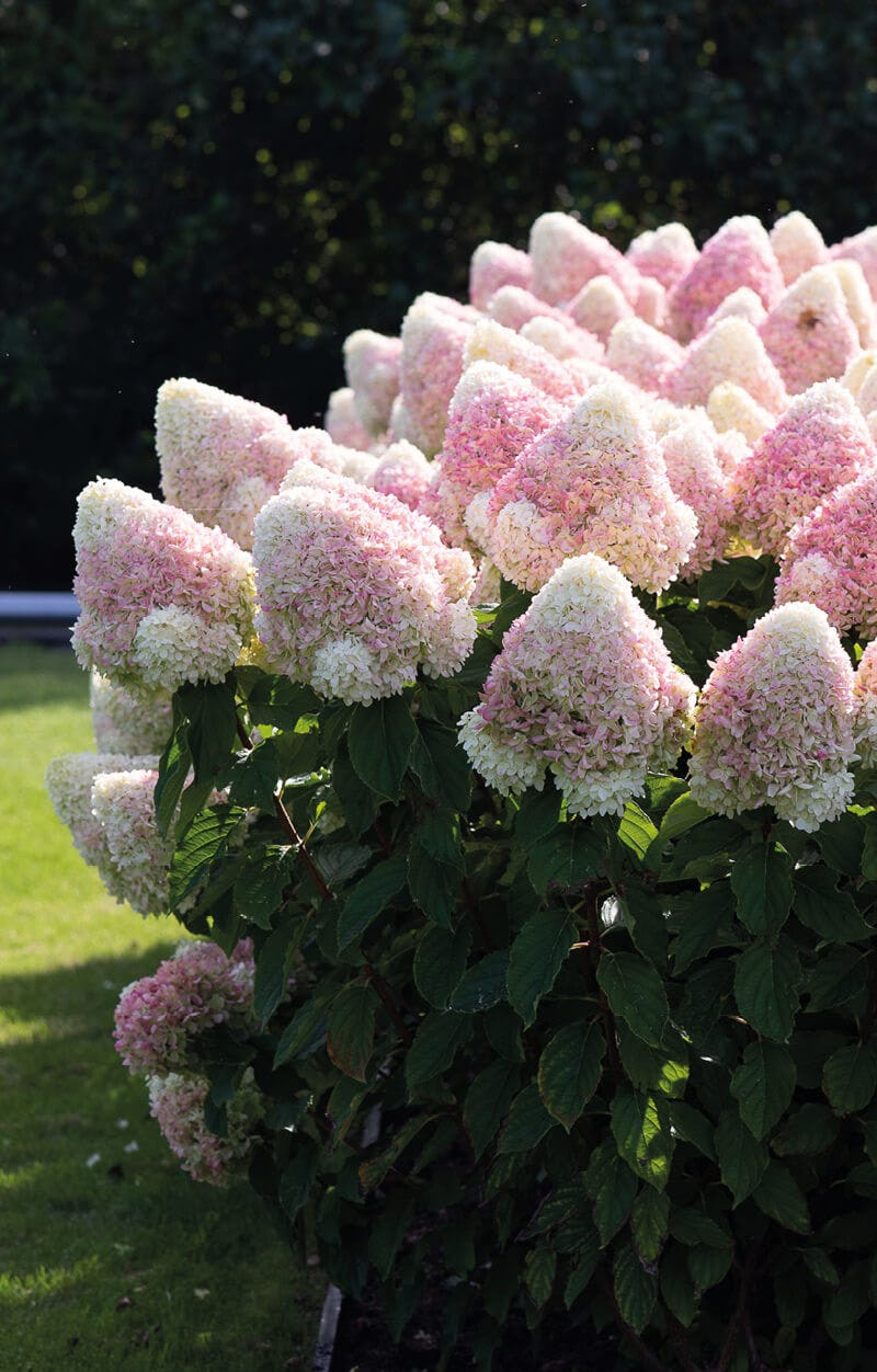 Hydrangea Living Summer Love®