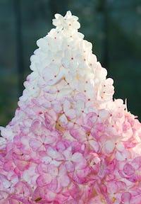 Hydrangea paniculata Living Vanille Fraise®