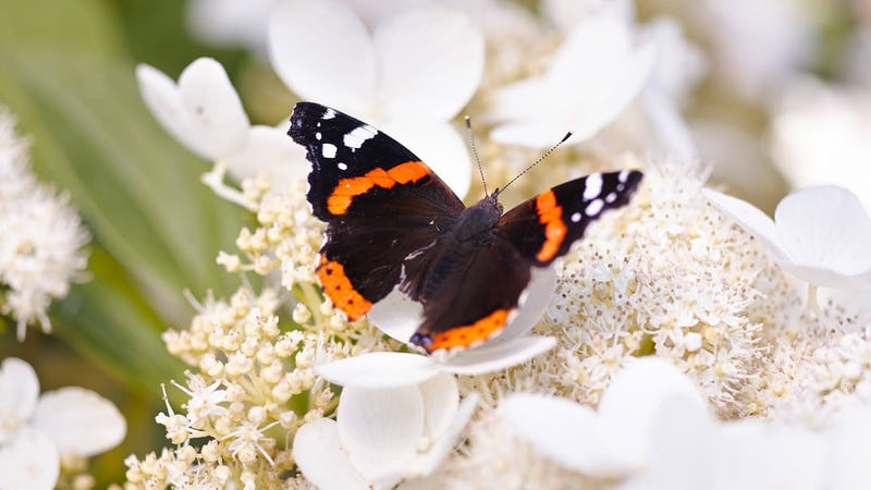 A butterfly visiting a Living Infinity® Hydrangea