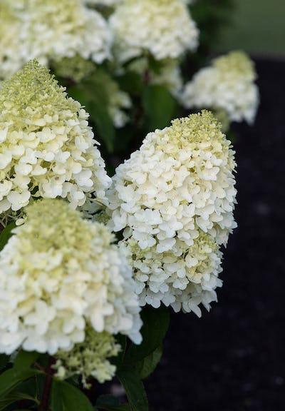 Hydrangea paniculata Living Sugar Rush®