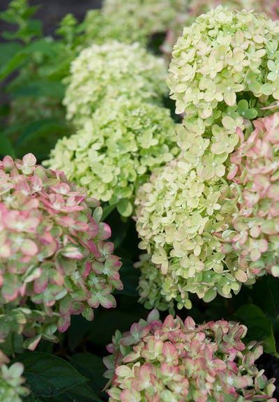 Hydrangea paniculata Living Little Lime®
