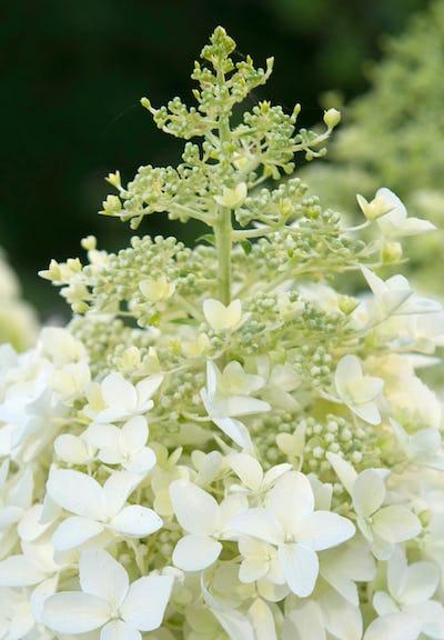 Hydrangea paniculata Living Dolly®