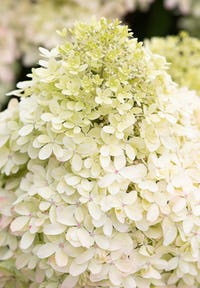 Hydrangea paniculata Living Royal Flower®