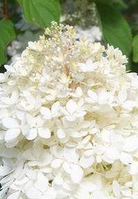 Hydrangea paniculata Living Phantom®