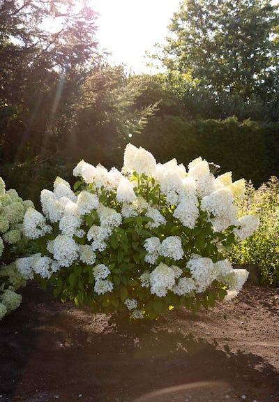 Hydrangea paniculata Living Sugar Rush