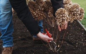 Pruning a Living Creations® Hydrangea
