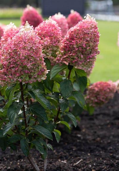 Hydrangea paniculata Living Pinky Promise®