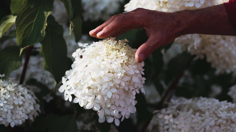 A hand touching a Living Royal Flower® Hydrangea.