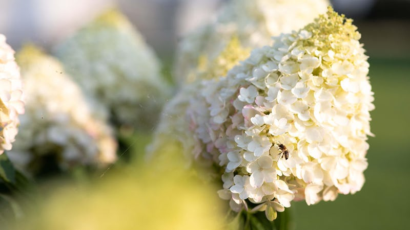 A bee visiting a Hydrangea paniculata Living Pinky Promise®