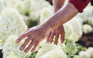 A hand touching a Living Creations® Hydrangea