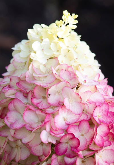 Hydrangea Living Colourful Cocktail® close-up