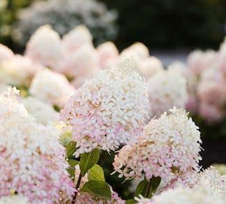 Hydrangea paniculata Living Royal Flower® (Living Creations)