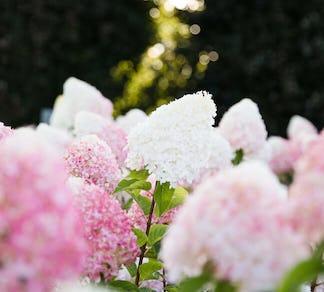 Hydrangea paniculata Living Pink & Rose® (Living Creations)