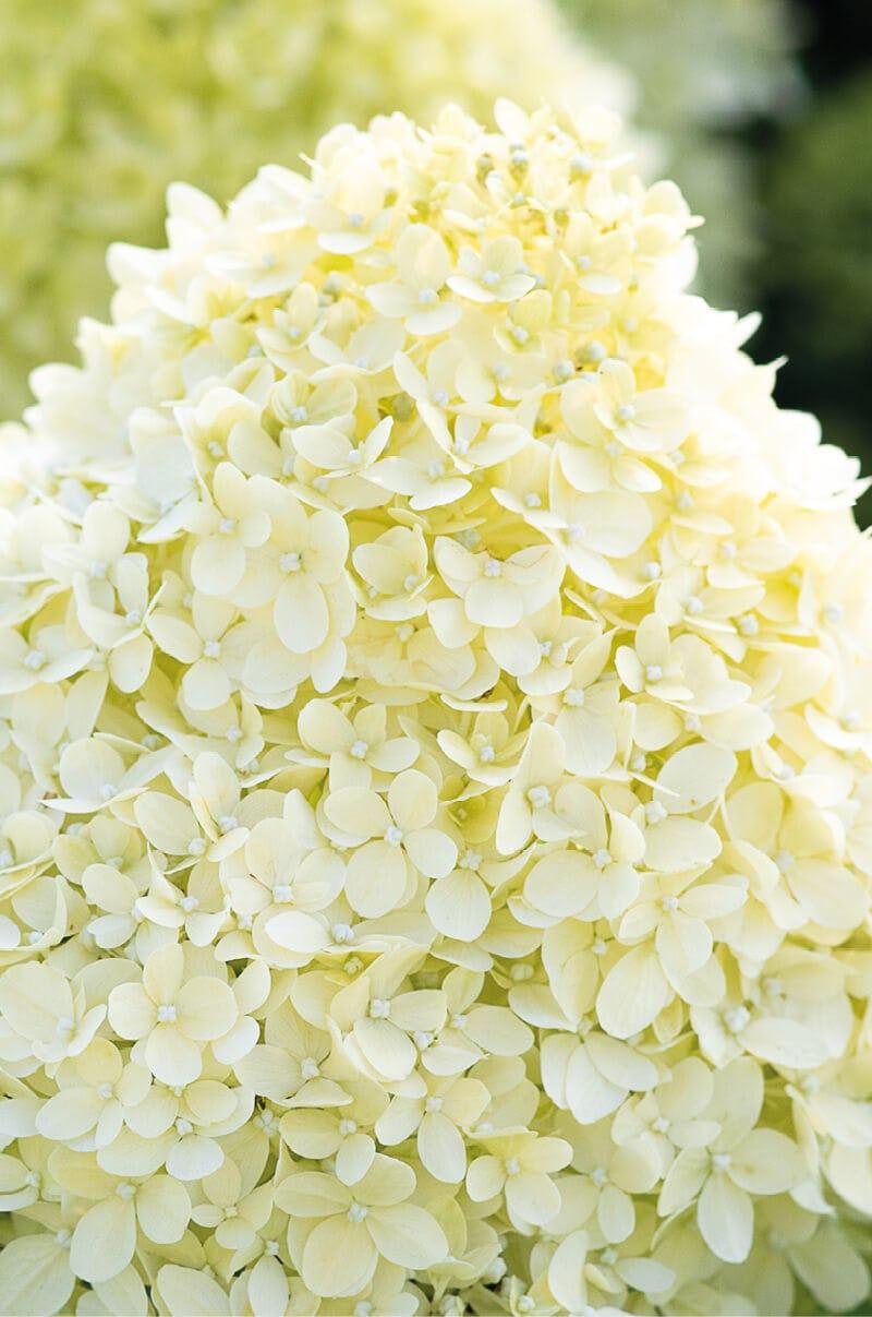 Hydrangea Living Cotton Cream®