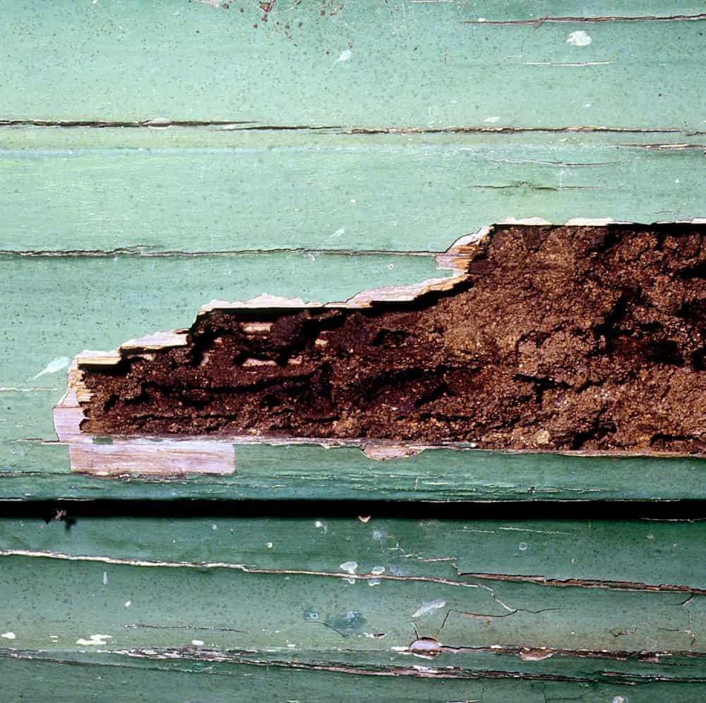 Bois rongé par les termites