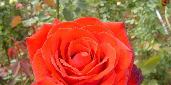 Festival das Rosas - Barbacena - MG