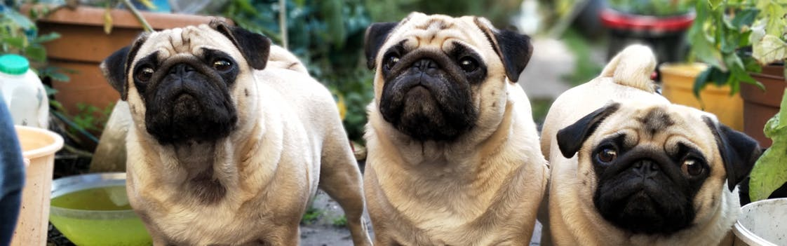 Pugs waiting for lunch at a dog friendly restaurant