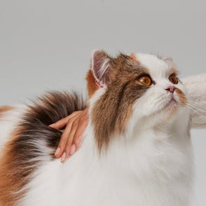 Cat being pet and looking up at its owner
