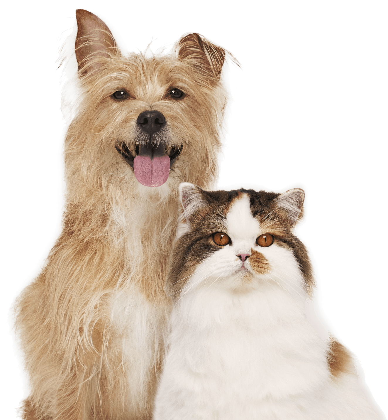 Golden Terrier and Fluffy Cat Waiting to Get Pet Insurance