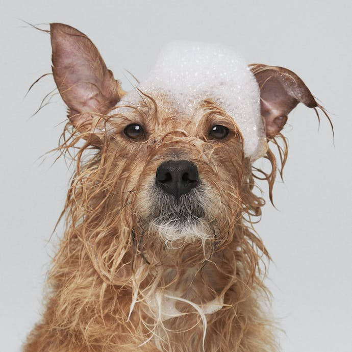 A golden terrier dog with bubbles on her head