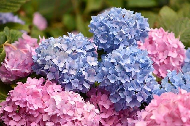 hortensia bleue et rose