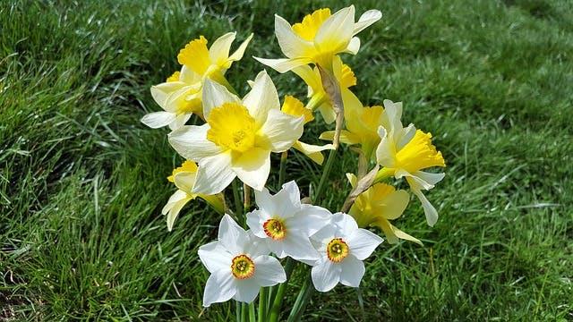 jonquille jaune et blanche