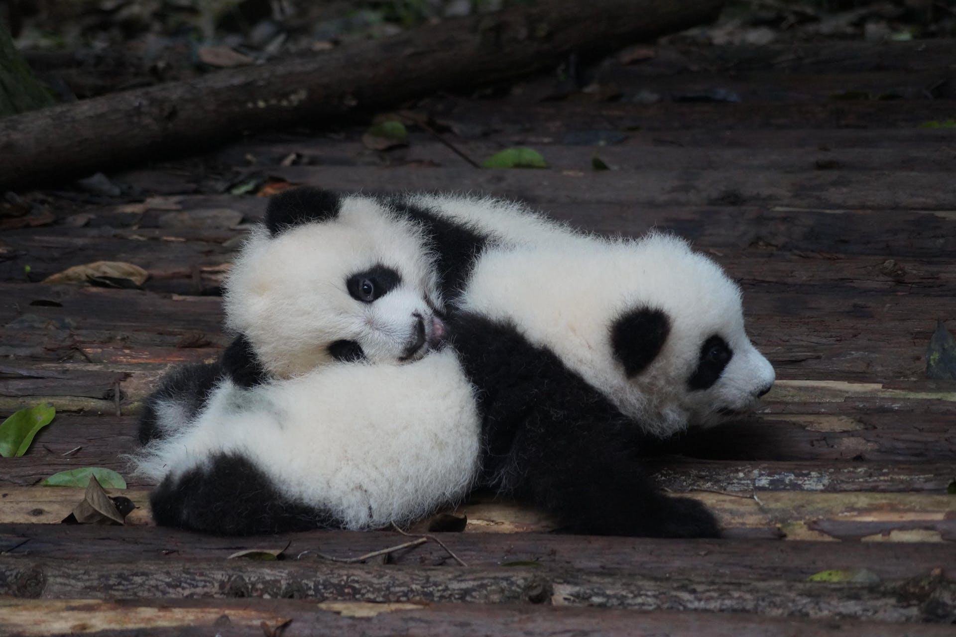 Ein Bild von Panda Babies