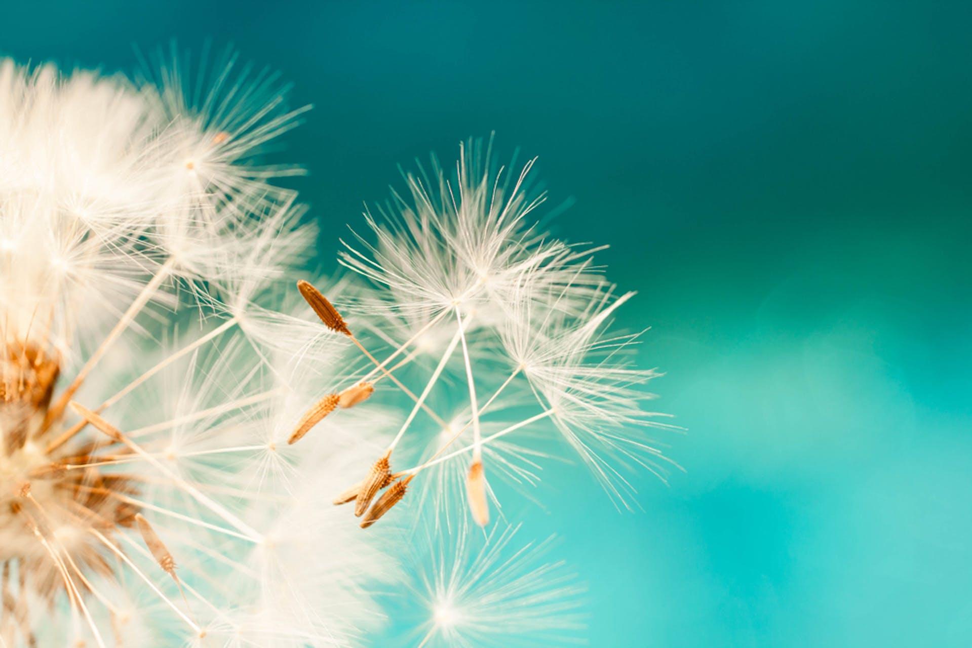 Foto Pusteblumen Seeding