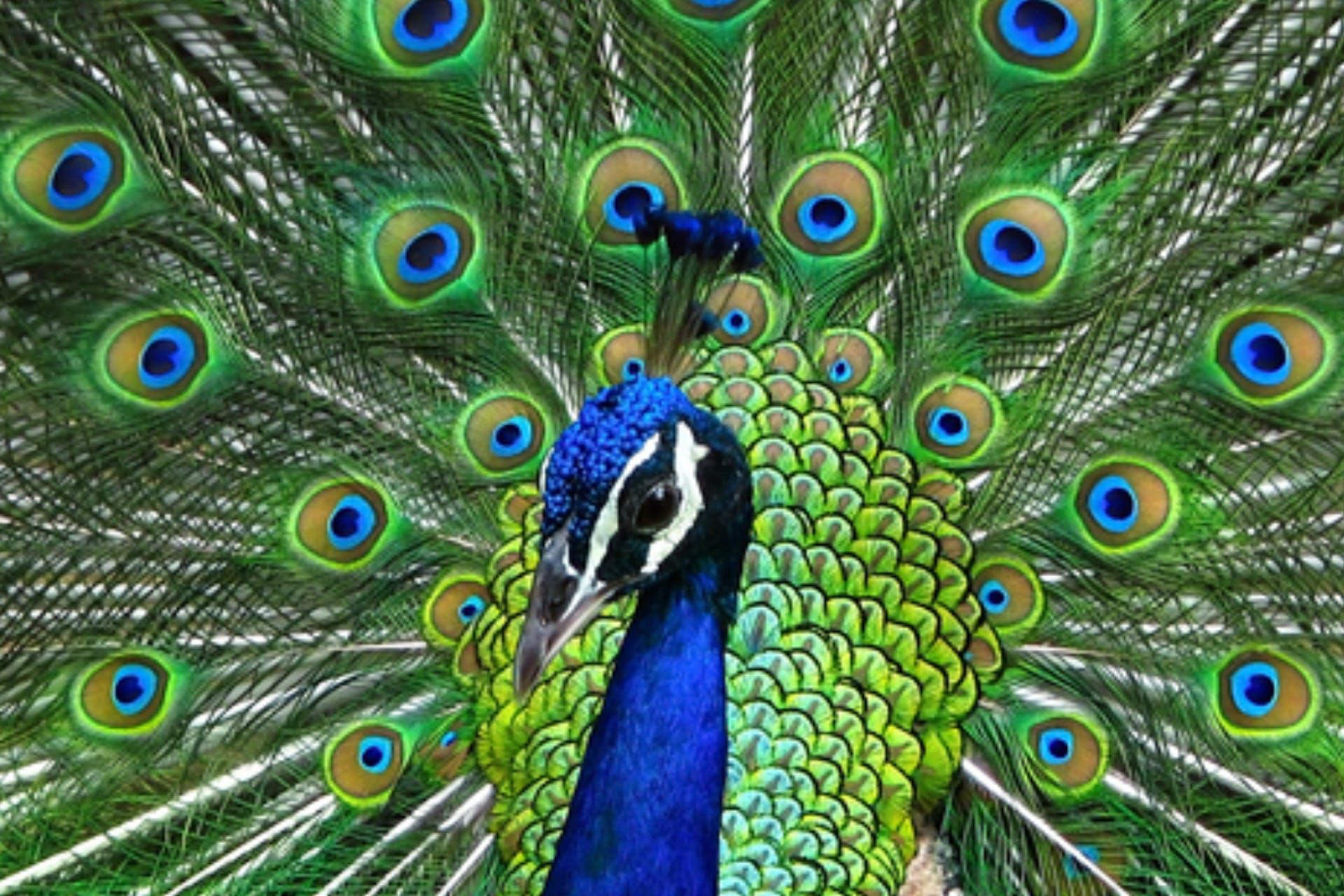 successful social media strategy flirting peacock