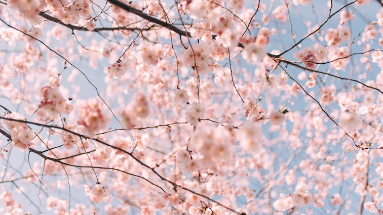Photo of pink cherry blossoms against blue sky