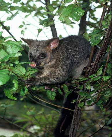 A Brushtail Possum clutches onto some leaves in a tree. This animal is an invasive species which is endangering native trees in New Zealand.