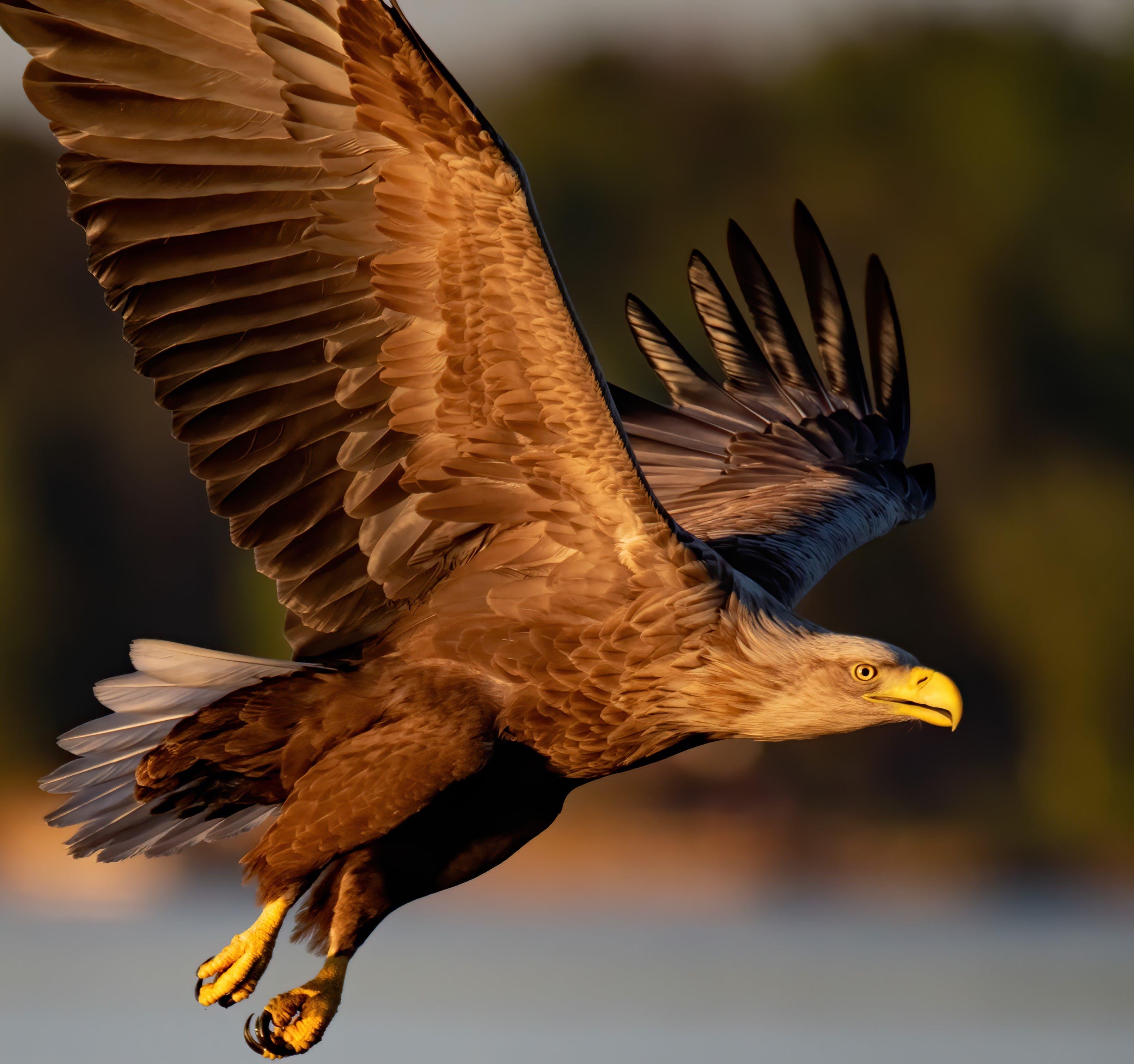 A white tailed sea eagle soars over a river