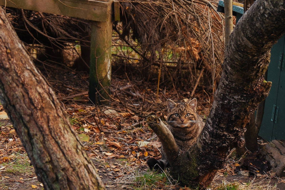 A wildcat kitten crouches behind a tree in its enclosure at Alladale Wilderness Reserve